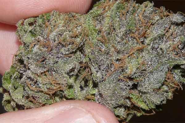 OG Presidential Kush Marijuana Strain